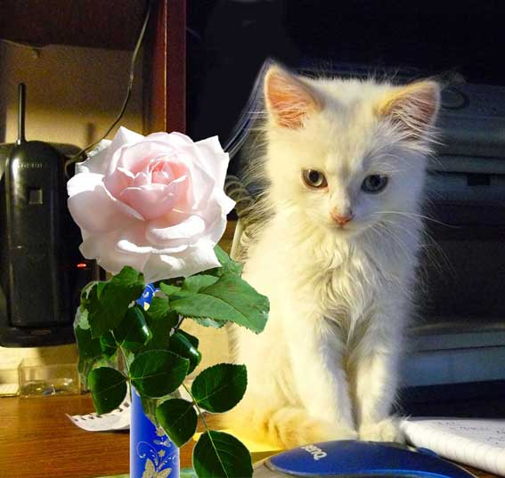Котенок и роза
